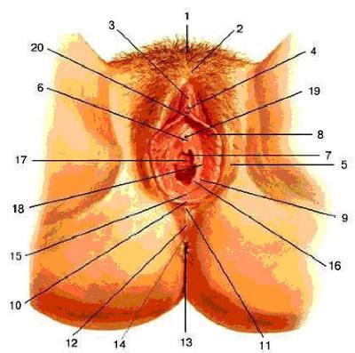 pokazat-stroenie-zhenskih-polovih-organov